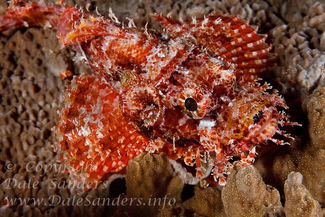 Tasseled Scorpionfish (Scorpaenopsis oxycephala) off New Britain Island, Papua New Guinea.