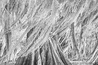 A monochrome rendition of blowing moss on thousand-year-old bald cypress in the swamps of the Atchafalaya Basin on a windy morning.