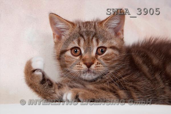 Carl, ANIMALS, photos(SWLA3905,#A#) Katzen, gatos