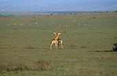 Nairobi, Kenya. Giraffes and wildebeest grazing overgrazed National Park land on the outskirts of the city.