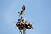 Osprey - Pandion haliaetus - during the spring months along the shore of Great Bay in Newmarket, New Hampshire USA