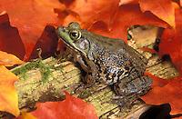 Female Green Frog (Rana clamitans melanota) amid autumn leaves, southern British Columbia, Canada.