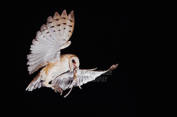 Barn Owl, Tyto alba, adult in flight with Kangaroo rat prey, Willacy County, Rio Grande Valley, Texas, USA