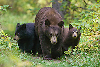 Female Black Bear and her cubs walking on a trail