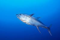 yellowfin tuna, Thunnus albacares, Cocos Island, Costa Rica, Pacific Ocean