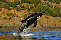 Killer Whales ( Orca ) Images