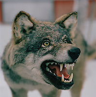A stuffed wolf, growling, in Lapland, Sweden
