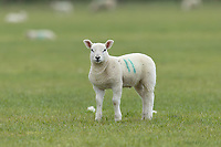 10-4-2021 Spring lamb<br /> ©Tim Scrivener Photographer 07850 303986<br />      ....Covering Agriculture In The UK....