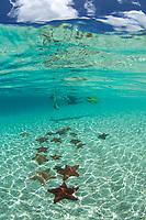Snorkeler with starfish underwater<br /> St. John<br /> US Virgin Islands Pincushion Starfish<br /> Virgin Islands