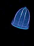 Helmut Comb Jellyfish, Beroe ovata  Flattened Helmet Jelly, Gulf Stream Current; Larval pelagic marine creatures; Plankton; SE Florida Atlantic Ocean off Singer Island 5 miles due south.; black water diving; larval fish; pelagic larval marine life; plankton creatures