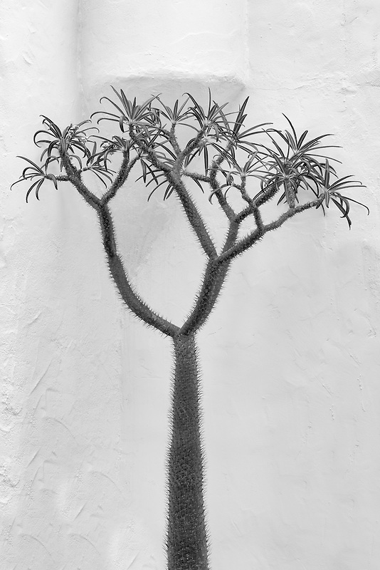 Pachypodium lamerei growing next to white wall. Los Angeles, CA