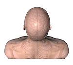postero-superior view of head and shoulders