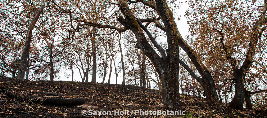 Fire damage and recovery from Nuns fire October 2017, Sonoma Regional Park, California