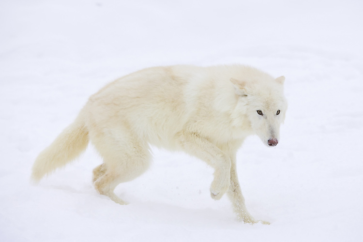 Arctic Wolf walking through the snow - CA