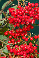 Sorbus aucuparia seedling fruits berry berries