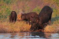 Feral Pig (Sus scrofa), mother with young drinking from pond, Refugio, Coastel Bend, Texas, USA