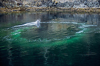 bubble-net feeding strategy of humpback whales, Megaptera novaeangliae, Frederick's Sound, Alaska, Pacific Ocean