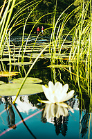 White Water Lily (Nymphaea alba) in the foreground with two female hikers in the background along the Sjuhäradsleden, West Sweden, Sweden - Västsverige, Sverige