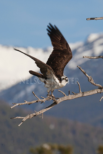 An Osprey takes flight from its perch in a dead tree