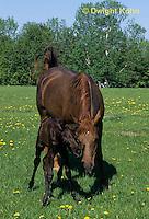 SH07-014z  Arabian Horse - mare with foal