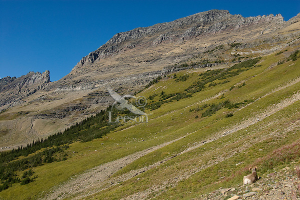 Bighorn Sheep rams along the continental divide in Glacier National Park.  Sept.