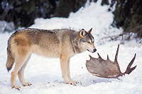 gray wolf, Canis lupus, on a dead moose, Alces alces, in the foothills of the Takshanuk mountains, northern southeast, Alaska, USA