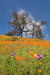 California poppies bloom on the hillside in late winter near the Mokelumne River in the Sierra Foothills as the bare oaks begin to bud.