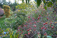 Red rose hips (Rosa vilosa) in autumn border with grasses in Gary Ratway garden