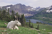 Mountain Goat,Oreamnos americanus, adult with summer coat over Hidden Lake,Glacier National Park, Montana, USA