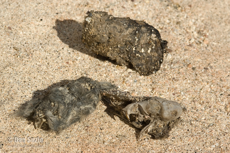 Owl pellets containing rodent skulls and other bones, Red Rock Canyon State Park, California