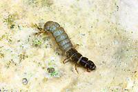Köcherfliege, Wassergeistchen, Larve, Hydropsyche spec., Köcherfliegen, caddisfly, larva, sedge-fly, rail-fly, caddisflies, sedge-flies, rail-flies, Trichoptera