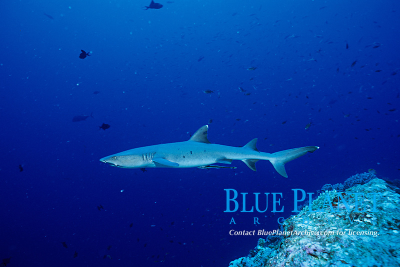 whitetip reef shark, Triaenodon obesus , Bonin Islands, Ogasawara, Tokyo, Japan, Pacific Ocean