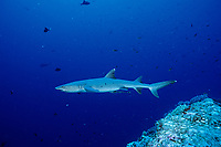 whitetip reef shark, Triaenodon obesus , Bonin Islands, Ogasawara, Tokyo, Japan, Pacific Ocean