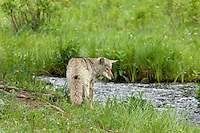 Wild Coyote (Canis latrans) looking for spawning cutthroat trout in small stream.  Western U.S.