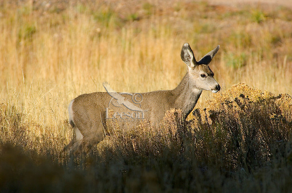 Mule Deer, Bryce Canyon National Park, Utah.  This deer is a five or six month old fawn which was born in the late spring; now it is mid fall.