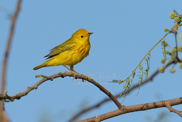 Yellow Warbler (Dendroica petechia), adult male, South Padre Island, Texas, USA