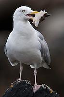 Silbermöwe, mit Fischabfall im Schnabel, Silber-Möwe, Möwe, Silbermöve, Larus argentatus, herring gull