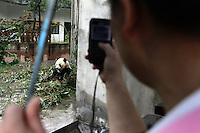 A tourist observing a Giant Panda in an enclosure at the Chengdu Panda Breeding Center, in south-west China.
