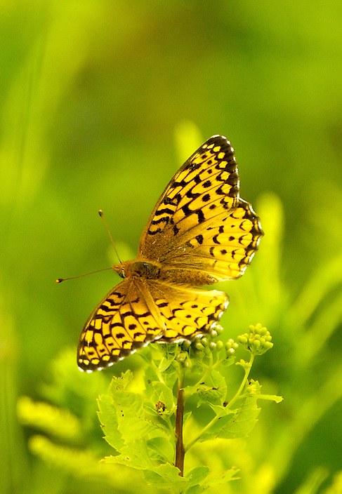 A stunning exapmle of the Silver Boardered Fritillary Butterfly feeding on Milkweed.
