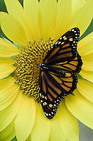 Monarch, Danaus plexippus, adult on sunflower, Willacy County, Rio Grande Valley, Texas, USA, May 2006