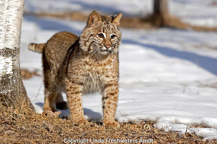 Bobcat (Lynx rufus) standing in the snow next to a birch tree.