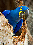 Hyacinth Macaw (Anodorhynchus hyacinthinus) head portrait at nest hole, in forest bordering of the Cuiaba River, Northern Pantanal, Brazil. September