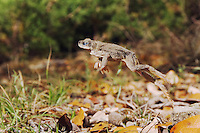 Red-spotted Toad, Bufo punctatus, adult leaping, Uvalde County, Hill Country, Texas, USA