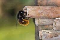 Gehörnte Mauerbiene, Weibchen am Nest, Neströhre, Niströhren, Niströhrchen, Wildbienen-Nisthilfe, Wildbienennisthilfe, Osmia cornuta, European orchard bee, orchard bee, hornfaced bee, female, L'osmie cornue, Mauerbiene, Mauerbienen, Mason bee, mason bees