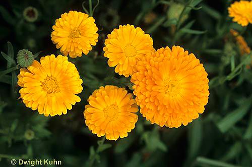 HA22-154x  Calendula - Persimmon Beauty (Dania) - Calendula officinalis