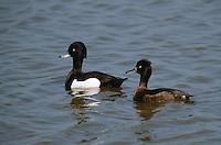 Reiherente, Paar, Pärchen, Reiher-Ente, Aythya fuligula, tufted duck