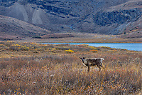 Woodland Caribou or mountain caribou (Rangifer tarandus caribou) cow in alpine tundra near a mountain lake, Northern Rocky Mountains,  British Columbia.  Fall.