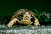Female box turtle making eye contact as she walks in garden on stone pathway