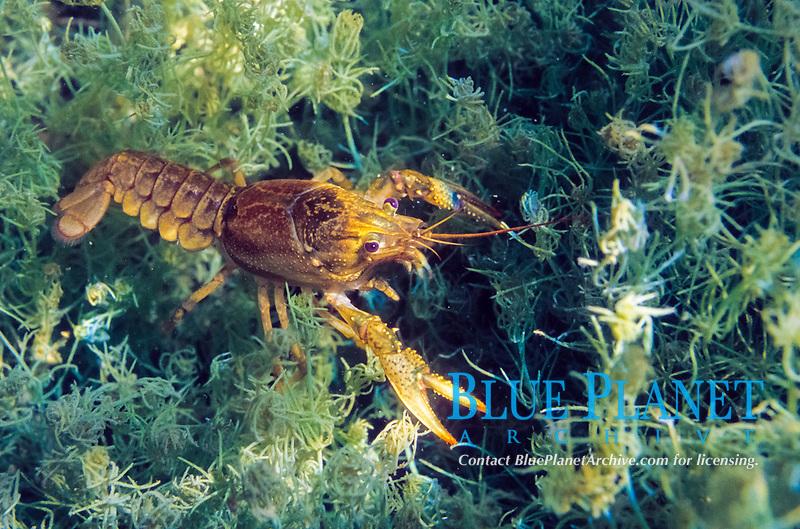 virile crayfish, northern crayfish, or Eastern crayfish, Orconectes virilis, Minnesota, USA