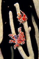 cryptic teardrop crabs, Pelia mutica, on octocoral, City of Washington wreck, Key Largo, Florida Keys National Marine Sanctuary, Atlantic Ocean